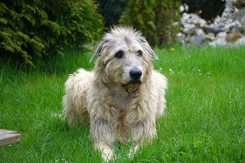 Irish Wolfhounds are similar to Labradanes