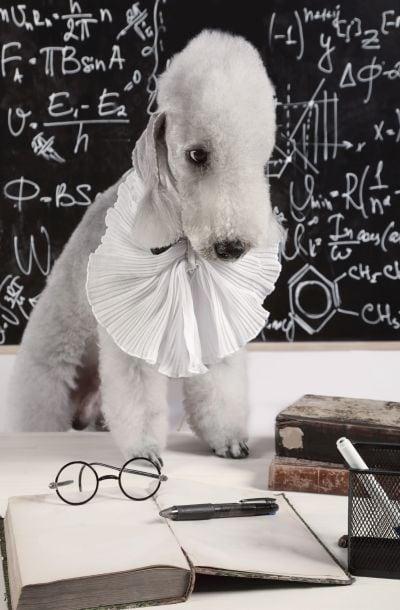 how to measure dog intelligence