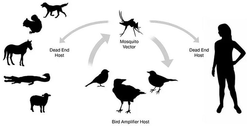 lifecycle of West Nile virus