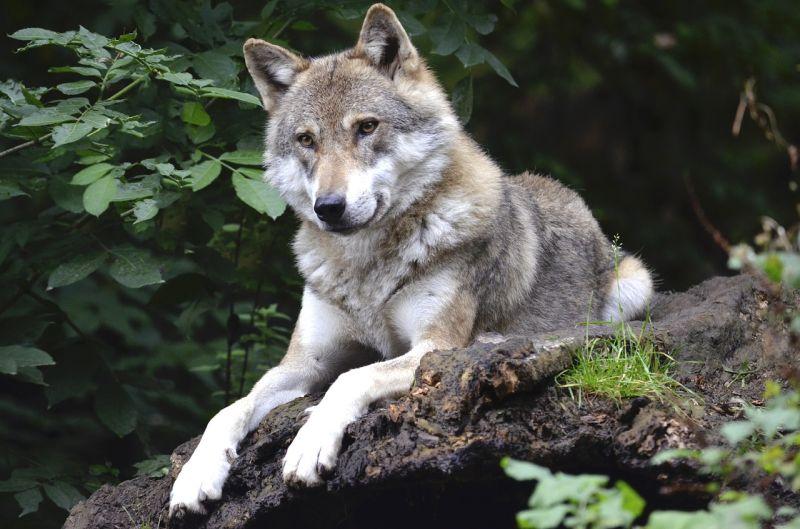 lifespan of wolves