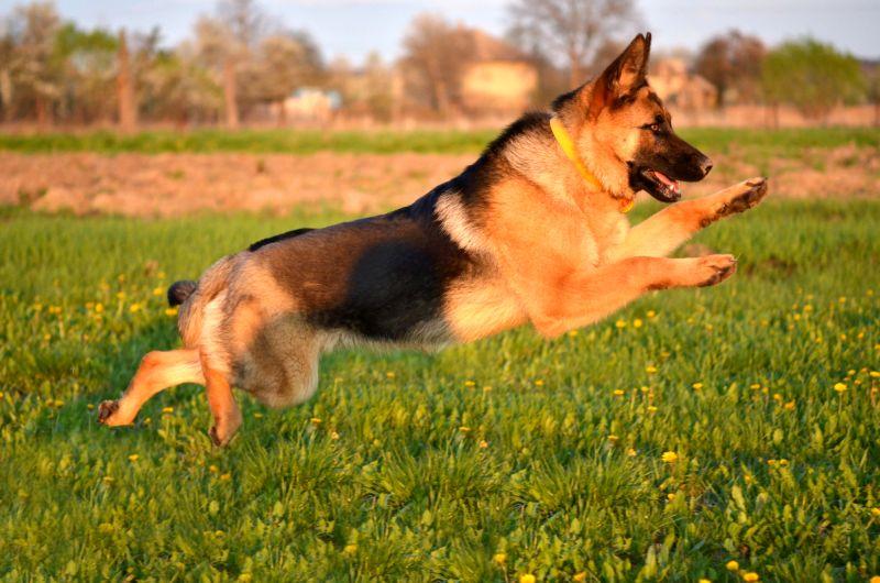 German Shepherds are shepherds