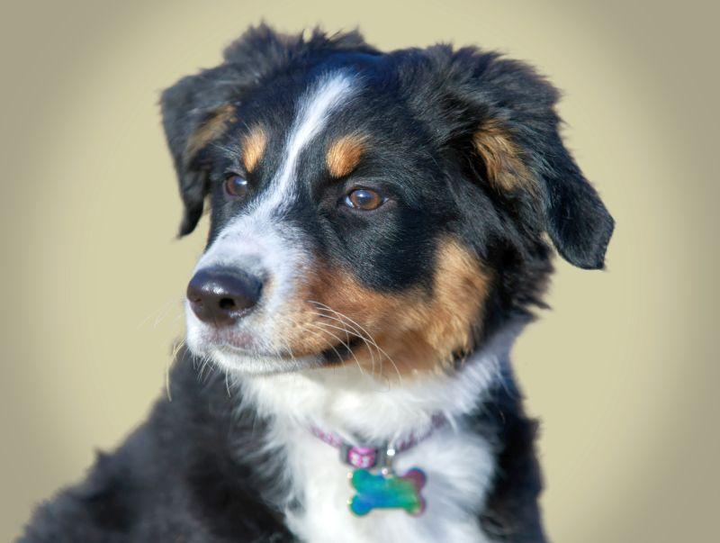 Miniature American Shepherds are shepherd dogs