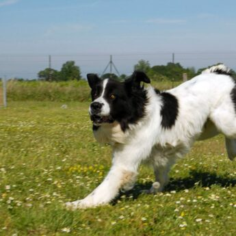 Piebald Dog Coat