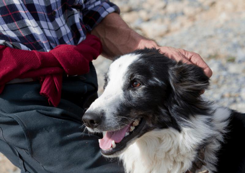 shepherd dog with human