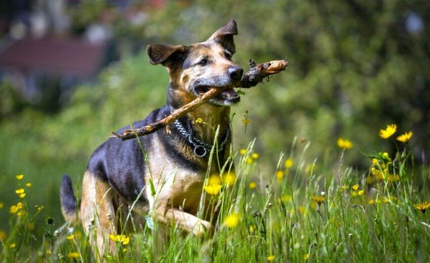 Shepweiler dog breed