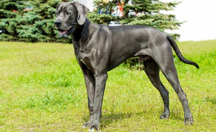 Best Foods for Great Dane