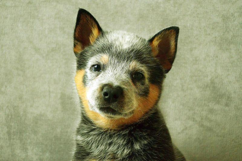 cost of an Australian cattle dog puppy