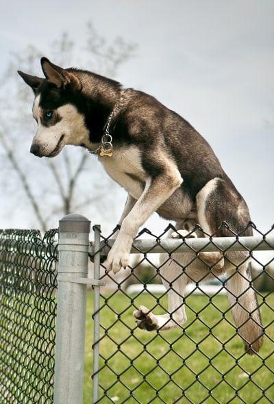 some dogs climb fences
