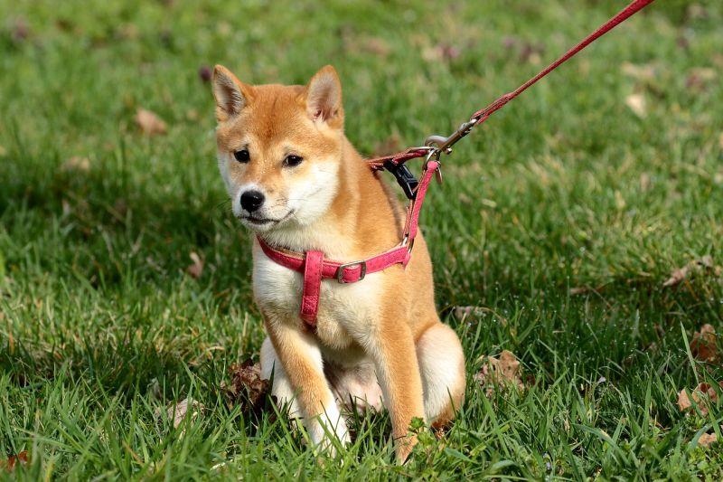 uncomfortable gear may stop dog on walks