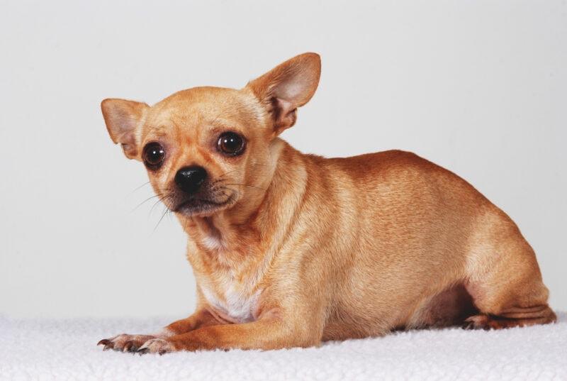Thundershirts help canine anxiety