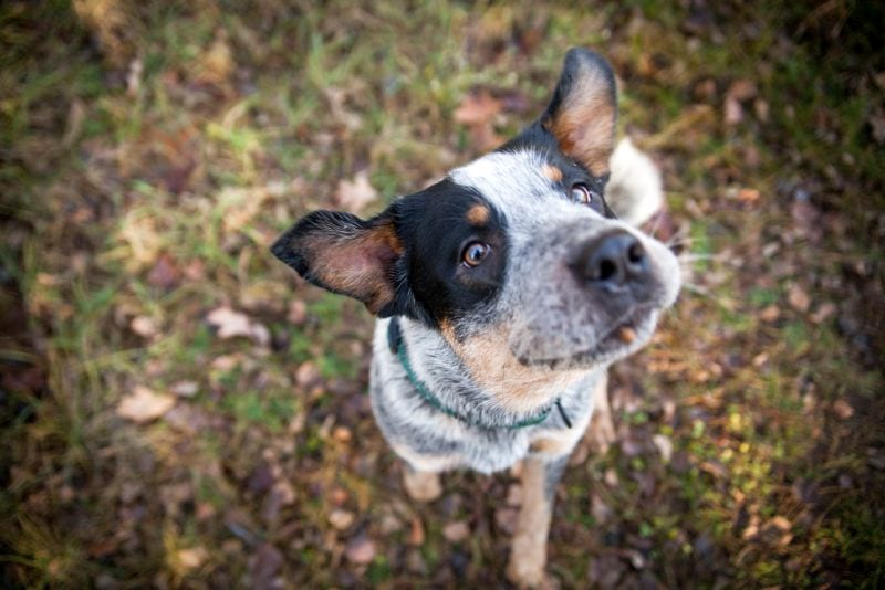 pricing for Australian cattle dog