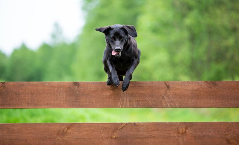 dogs who jump over fences