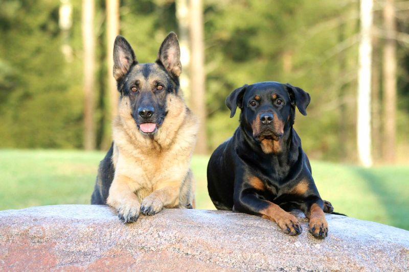German shepherd and Rottweiler