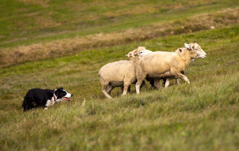 traits of shepherd dogs