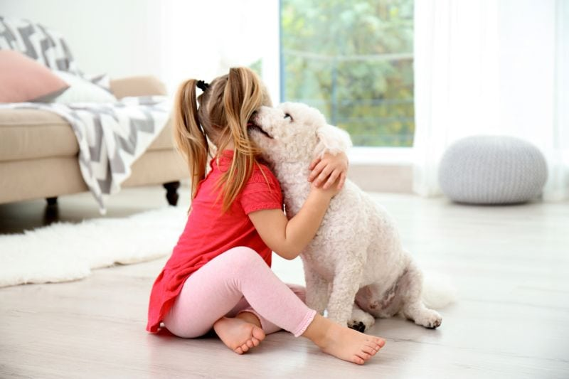 The Bichon Frise is an affectionate breed