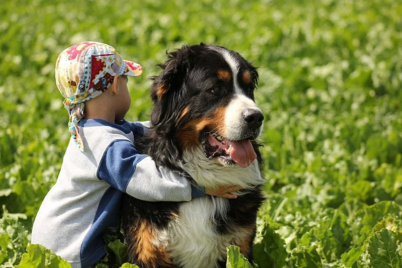 Bernese Mountain Dogs are good service animals