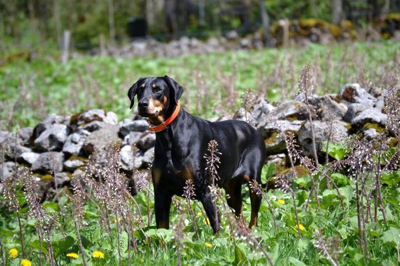 Doberdore dog breed