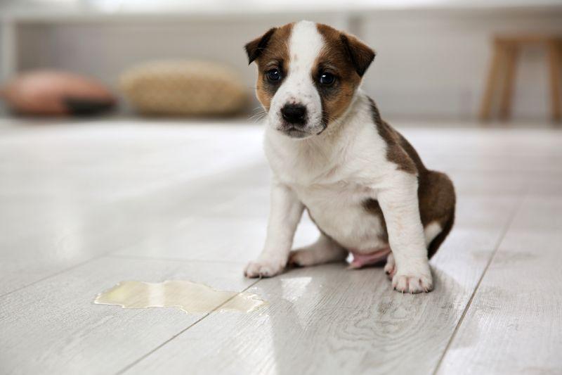 dog bladder issues